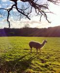 Bridget the llama in Back Field 3Feb_2016SK