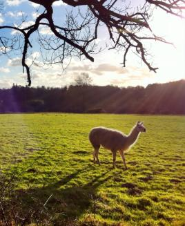 Bridget the llama in Back Field 3 Feb_2016SK