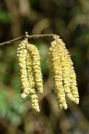 Catkins1_15 Feb 2016DV