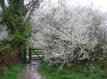 Blackthorn in blossom, spring 2014