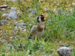 goldfinch-at-rear-of-vc-4-june-2016ma