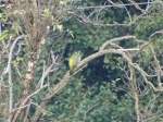 Green woodpecker in usual tree 17 Oct 2015