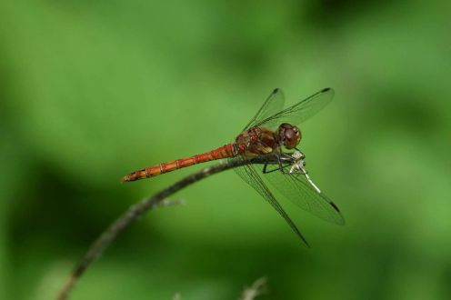 Male Common Darter and prey
