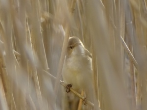 Reed Warbler on Pond Plat by Mike Ayling