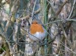 Robin (TT)