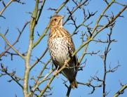 Song thrush Feb 16DV