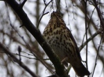 Song thrush March2017MA