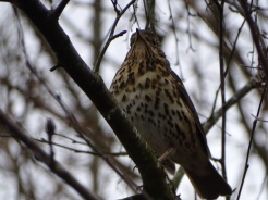 Song Thrush still singing