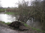Hawthorn tree opp Chesworth House drive uprooted, Feb 15