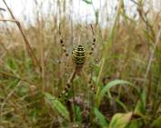 Wasp Spider top