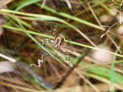 Wasp Spider from underneath
