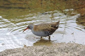 water rail1 222-03-15DV