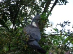 Wood pigeon nest-making
