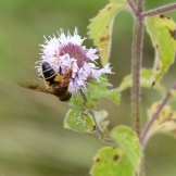 Hoverfly on watermint