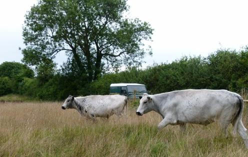 British White cattle arrive on Chesworth's Riverside fields