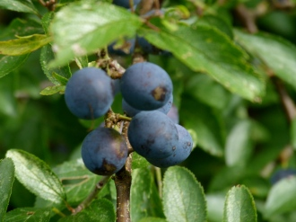Ever popular sloes, fewer fruits this year perhaps