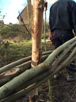 Completing hedgelaying along track_4Jan16