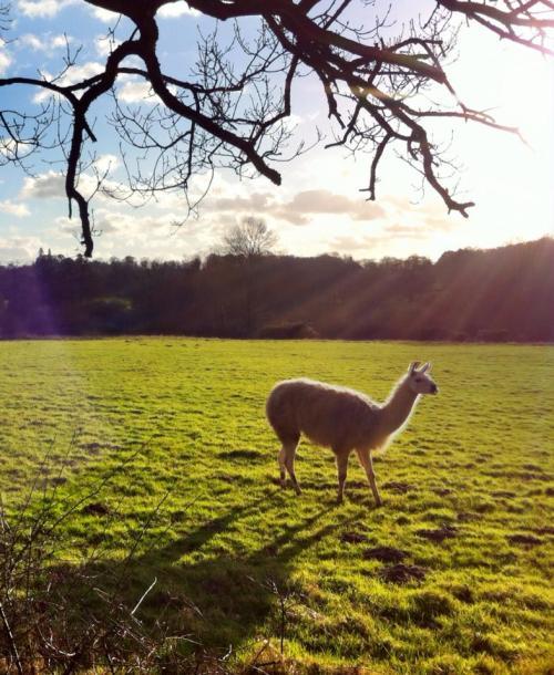 Bridget the llama in Back Field 3 Feb_2016SK