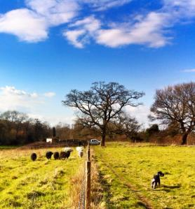 Sheep arrive at Riverside fields