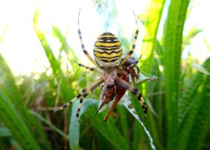 Wasp Spider and her prey, August 16: Barry Clough