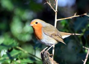 Robin @chesworthfarm by Dave Verrall