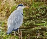 grey-heron-january-2017