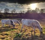 British White grazing: Steve Knight
