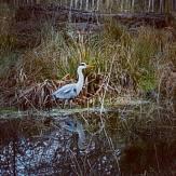 Heron: Vivienne Smith