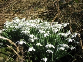 Snowdrops on Riverside walk loop