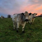 Photo of British White cattle at Chesworth Farm by Ryan Allison