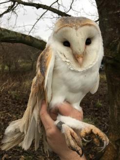 Barn Owl at Chesworth Farm