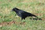 Carrion Crow_30 January18_DV