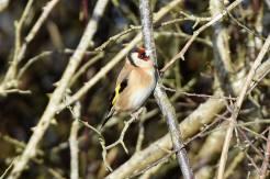 Goldfinch_7 Jan 18_DV
