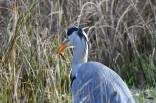 Grey Heron eating a Newt am 16 January 18_DV