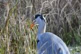 Grey Heron eating a Newt am 16 January 18_DV