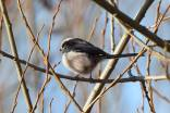 Long Tailed Tit_7 Jan 18_DV