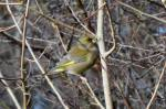 Male Greenfinch in flock of about eight_7 Jan18_DV