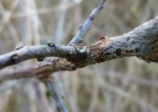 Brown Hairstreak butterfly egg on Blackthorn: it's smaller than a pinhead.