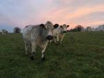 Cattle at sunset original_Dec2017_RA