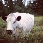 cattle on wetland August15MJ