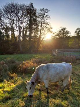 Late Sun on White Gate Lag with British White cattle_27 Oct 17_SK