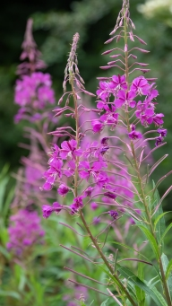 Willowherb