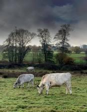 Cattle in Riverside_ 10 Nov 20_SK