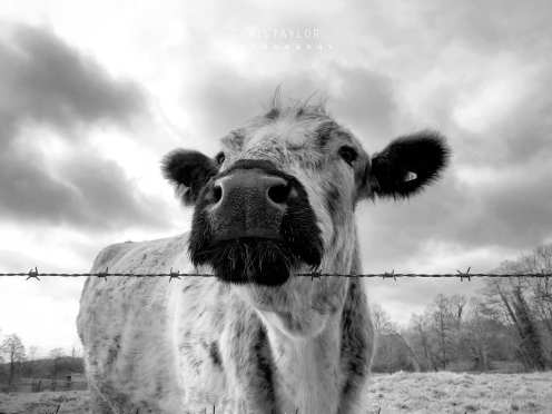 March 2020 cattle_CT