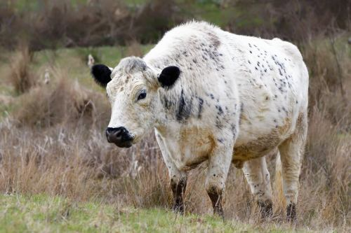 Picture of one of the cattle, taken in March 2021 by Philip Broggio