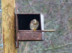 female kestrel in nest box at chesworth farm